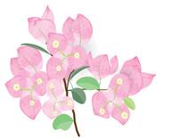 Bougainvillea Pink Flowers Wit...