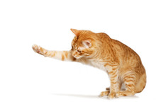 Ginger Cat Stretches Out His Paw