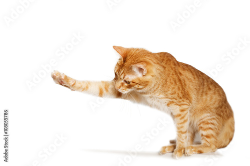 Tablou Canvas Ginger cat stretches out his paw