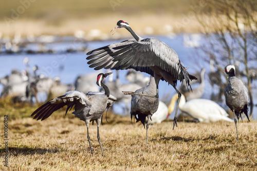 Valokuva  Eurasian crane