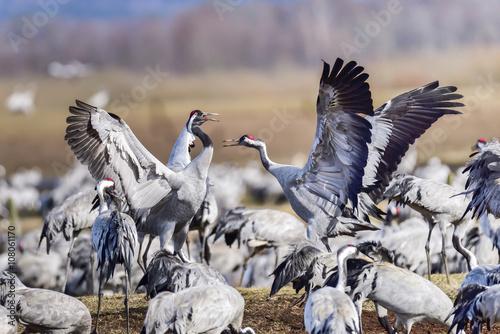 Fotografie, Tablou  Eurasian crane