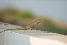 Lizard  On Stone Wall
