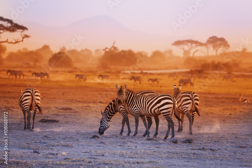 Poster Lavender Zebras herd on savanna at sunset, Amboseli, Africa