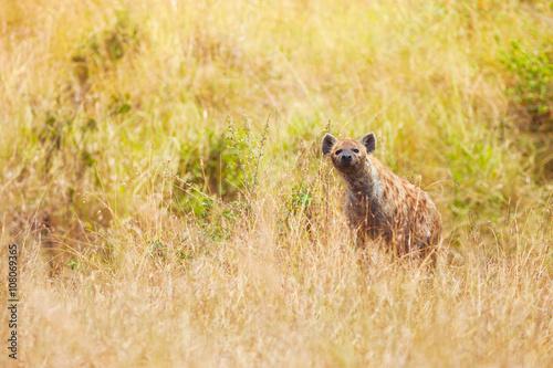 Hyena in the grass at Maasai Mara National Reserve