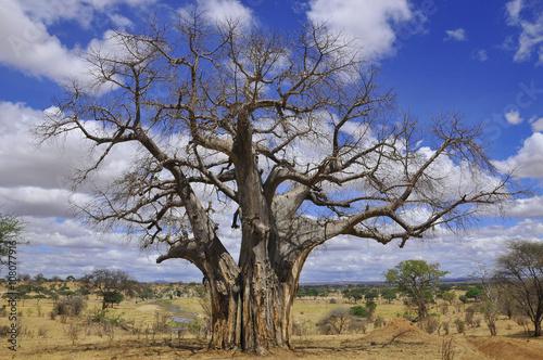 Photo Baobab or boab, boaboa, bottle tree, upside-down tree, and monkey bread tree Tar