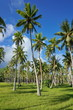Plantation of coconut palm trees on grassy ground, Huahine, Leeward Islands, French Polynesia