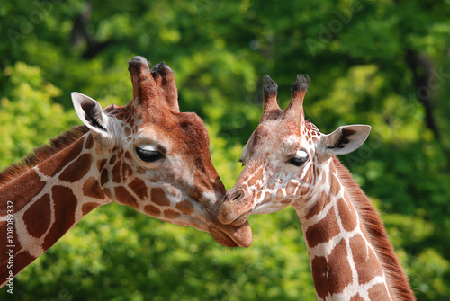 Poster Giraffe The giraffe (Giraffa camelopardalis) is an African even-toed ungulate mammal, the tallest of all extant land-living animal species, and the largest ruminant.