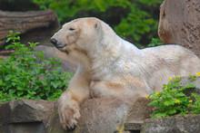 The Polar Bear (Ursus Maritimu...