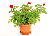 Potted Mini Rose