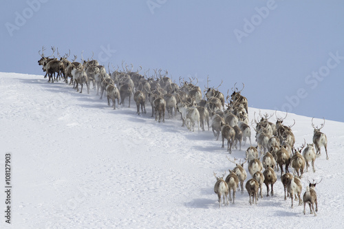 Photo  herd of reindeer running around the mountain winter sunny day