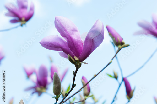 Tuinposter Magnolia Bloomy magnolia tree with big pink flowers
