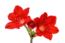 Red Flower Of Clivia, Isolated On White Background