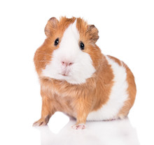 Adorable Guinea Pig  Isolated ...