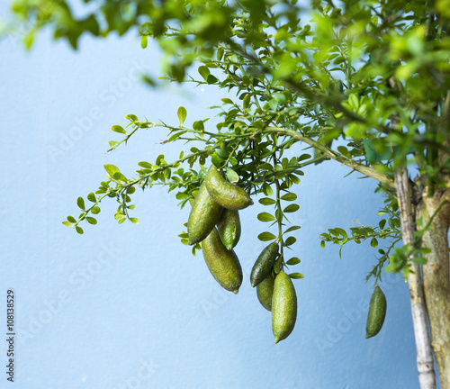 Australian Finger lime or Caviar Lime Canvas Print