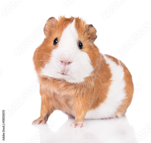 Fotografía  Adorable guinea pig  isolated on white background