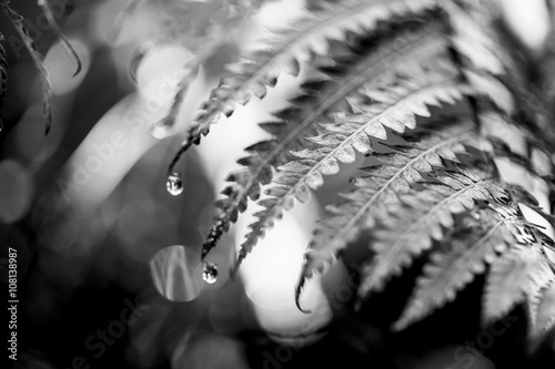 Black and White Fern Plant