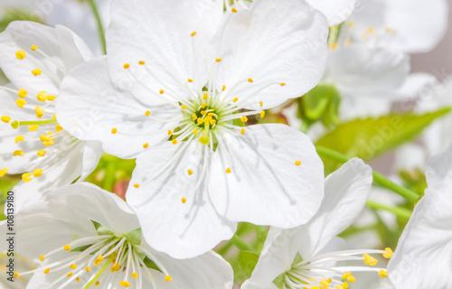 obraz PCV Frühlingsblüten, Obstblüten, Makro, closeup