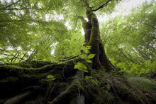 Tree With Moss On Roots In Green Forest