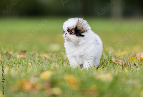 Fototapeta puppy Japanese chin in a Park