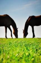 Silhouettes Of Two Horses Grazing On The Green Pasture. Couple Of Horses In Love.