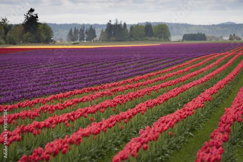 Fotografia, Obraz  Tulips in the Skagit Valley