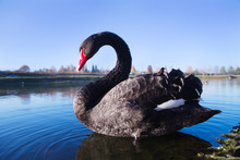 Black Swan Swims In The Lake