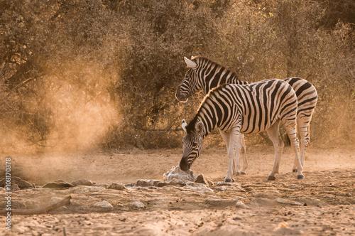 Papiers peints Hyène Zebra waterhole sunrise