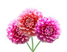 Pink Dahlia Autumn Flowers Isolated On White