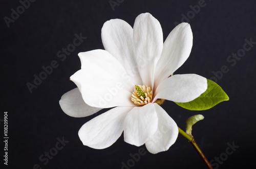 Plakat biały kwiat magnolii zbliżenie.