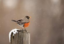 Robin Watching Snow Fall.