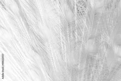 white peacock feathers as a background