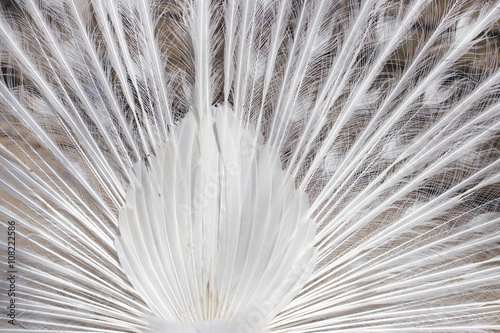 Fotografie, Obraz  white peacock feathers as a background