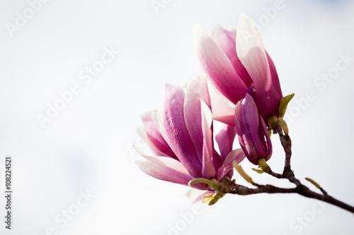saucer-magnolia-magnolia-x-so