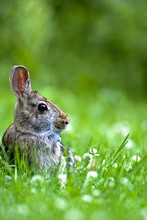 Eastern Cottontail (Sylvilavgus Floridanus) Sitting In A Grassy Meadow