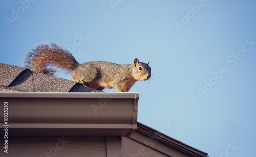 Spoed Foto op Canvas Eekhoorn Squirrel on the roof top