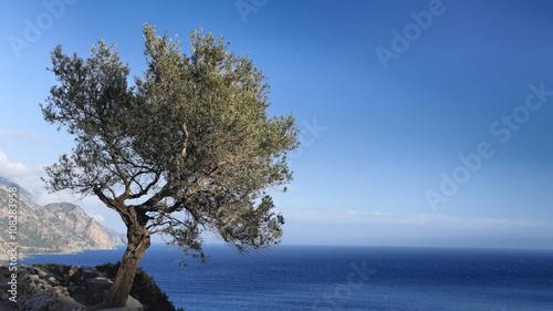 Stickers pour porte Oliviers Olivenbaum über dem Libyschen Meer an der Südküste von Kreta