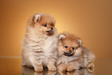 Pomeranian Puppy On A Colored Background