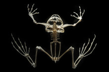 Skeleton On A Frog