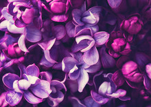 Purple Lilac Flowers Blossom I...