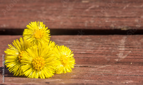 Valokuva  Coltsfoot flowers  are on the bench in spring