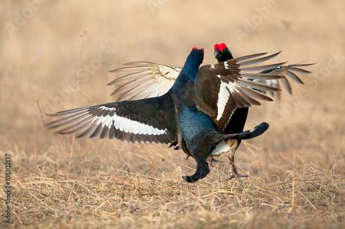 Black Grouse Fight Back Fototapet