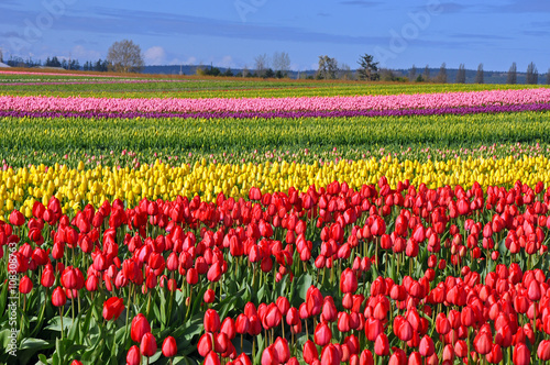 Field of colorful spring tulips
