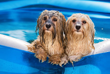 Two Cute Havanese Dog Rely On The Edge Of An Inflatable Pool