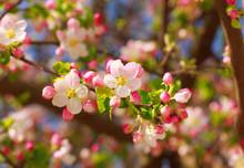 Apple Blossom In Sun Rays.