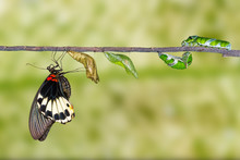 Life Cycle Of Female Great Mormon Butterfly