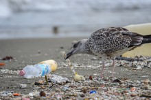 Gull Searching For Food  Between Rubbish On Beach At Naples