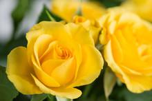 Yellow Shrub Rose