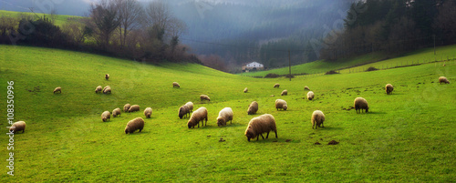 Foto op Canvas Schapen panorama of sheep grazing