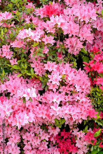 In de dag Candy roze ピンク色のツツジの花