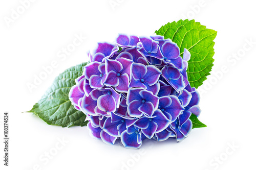 Deurstickers Hydrangea Purple flower hydrangea on a white background.